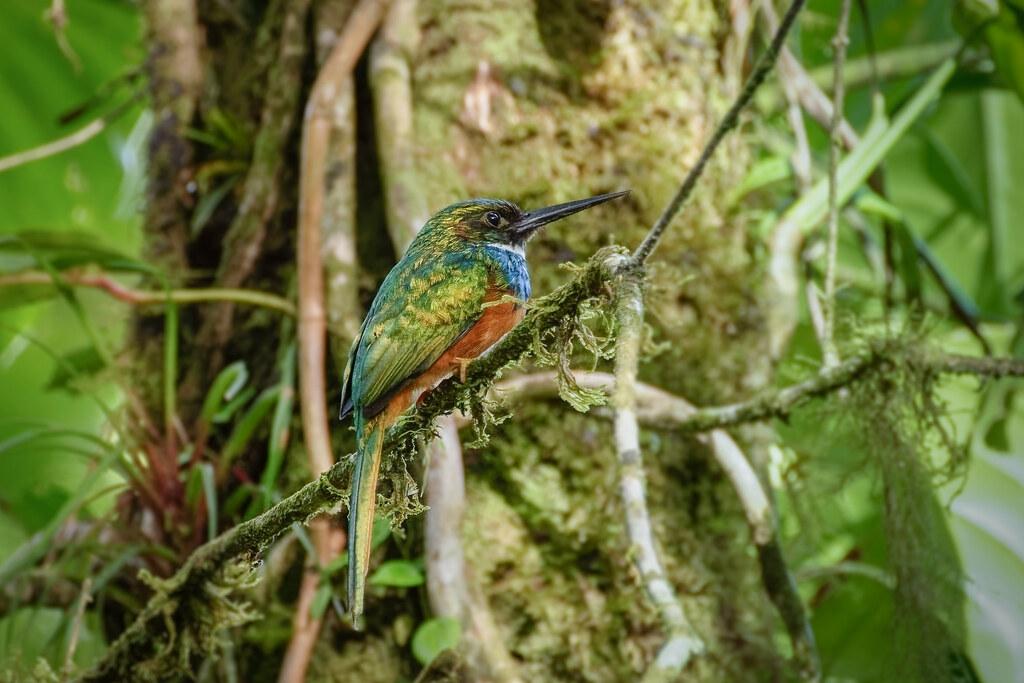1/2 Jacamar mâle ..Costa Rica..Album