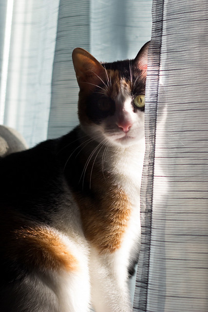Ishtar, gatita tricolor Calicó súper cariñosa y juguetona esterilizada, nacida en Julio´17, en adopción. Valencia. 31870468267_b15fbfe902_z