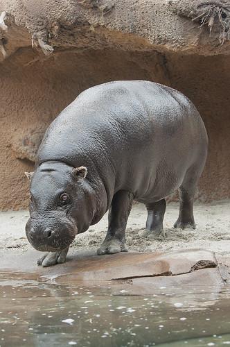 Pygmy Hippo | by San Diego Zoo Global