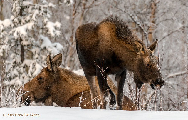 Momma Moose and yearling