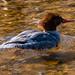 Female common merganser is back by Stu McCannell