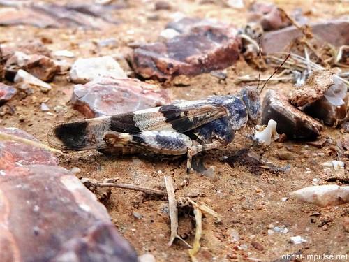 Blauflügelige Sandschrecke En Gedi Israel   by obrist-impulse.net