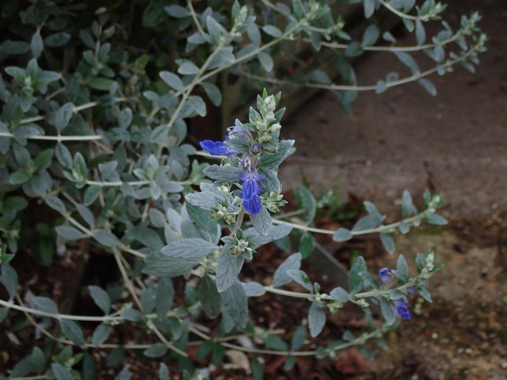 Teucrium fruticans Azureum