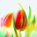 tulip dance by marianna armata