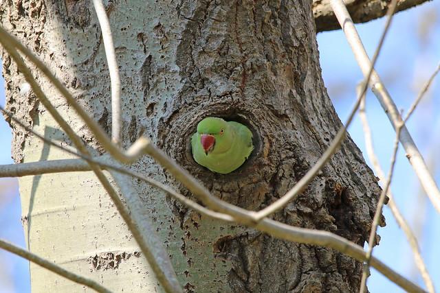 perruche à collier et son nid ?