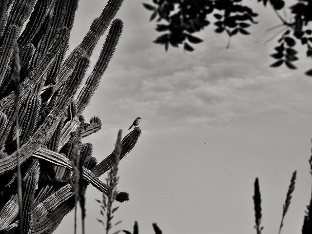 Frente de sahuaro
