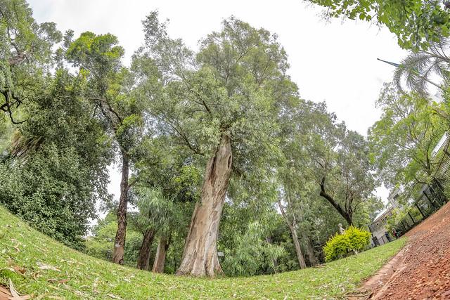 Eucalyptus camaldulensis 2018.12.18