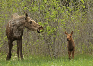 Momma moose and kid...#6