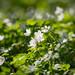 ❀ Watching Wood Anemones ❀