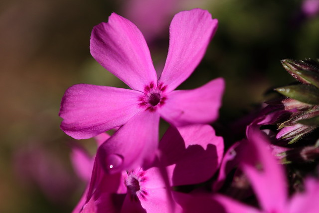 Phlox began to bloom on the ground