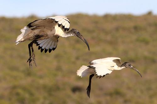 Ibis sacré - West Coast National Park/Western Cape/South Africa_20181205_3727