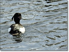 Tufted duck. (m)