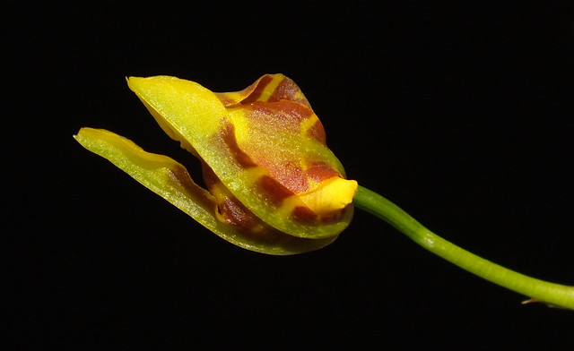Long column foot  orchid (Oncidium longipes) open bud