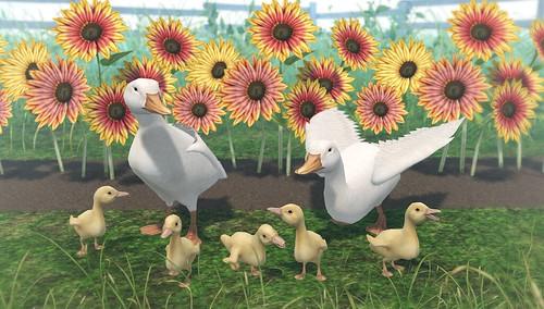 JIAN Pekin Ducks & Sunflowers (Belle. March '19)