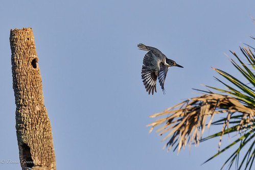 merrittisland action background bird flight florida kingfisher sunrise wildlife winter