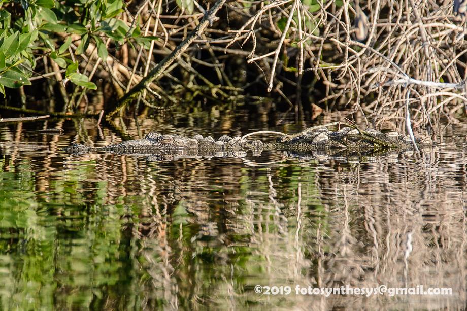 American Crocodile (Crocodylus acutus) DSD_7088
