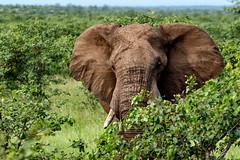 Elephant dans le Kruger