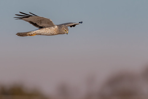 grayghost northernharrier male bird birding birdwatching birds birdofprey birdphotography birdinflight sunset sun adobe lightroom raw sigma150600sport sigma nature nikond500 nikon raptor