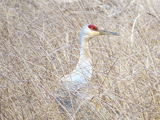 sandhill crane among winter-dried grasses