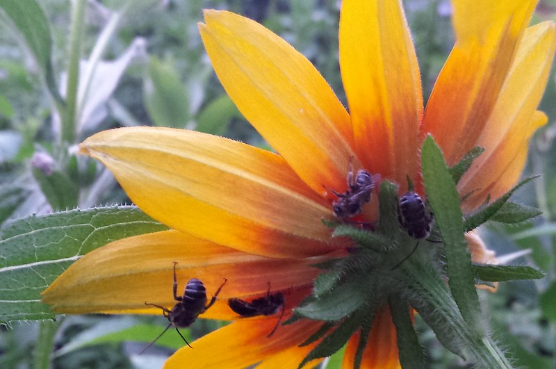 4 black bees with thin white stripes, hanging upside-down on the underside of orange petals.
