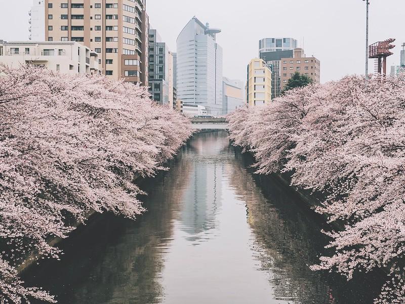 Meguro River Spring 2016