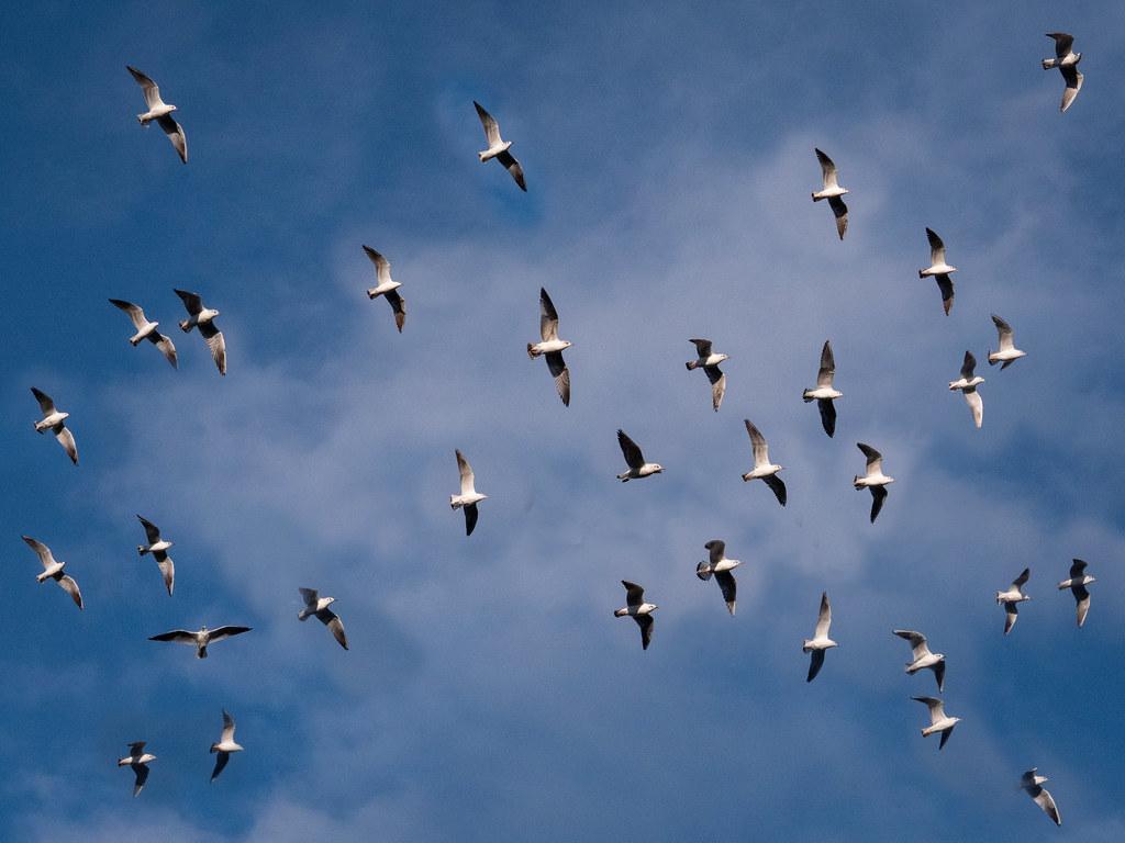 Dans les airs et sur les eaux... les oiseaux. 32410358947_dfc20a2477_b