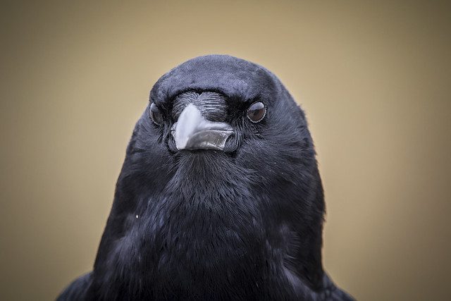 The serious crow