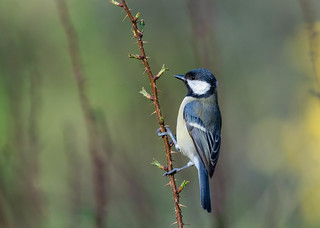 Great Tit | by Valentin Laurentziu