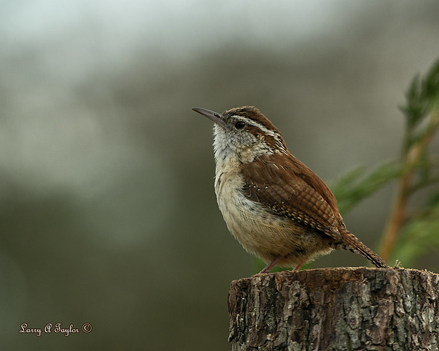 Male Carolina Wren Listening