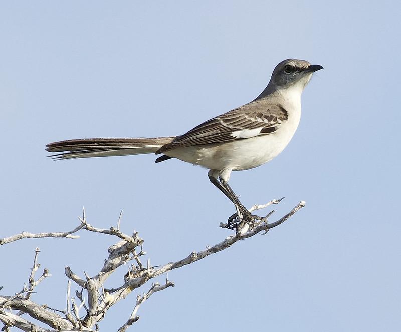 Northern Mockingbird, Mimus polyglottos Ascanio_Cuba 1 199A3873