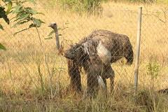 Lone female ostrich in Shai Hills Resource Reserve in Ghana