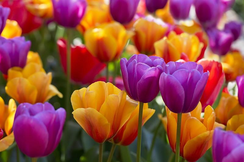 Обои тюльпаны, бутоны, разноцветные картинки на рабочий стол, раздел цветы - скачать