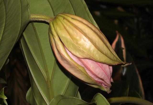 Showy medinilla (Medinilla magnifica) opening flower bud