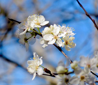 Chickasaw Plum blooms on Bromide Hill | by gmeador