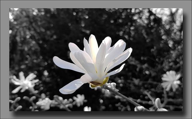 - Magnolia stellata -