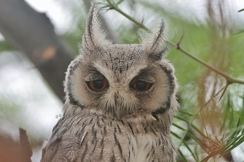 Southern White-faced Scops-Owl / Petit-duc à face blanche | by safrounet