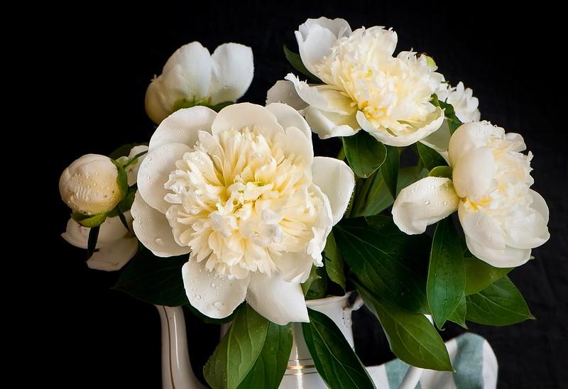Обои капли, белые, пионы картинки на рабочий стол, раздел цветы - скачать