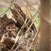Cottonmouth (Agkistrodon piscivorus) by Noah K. Fields