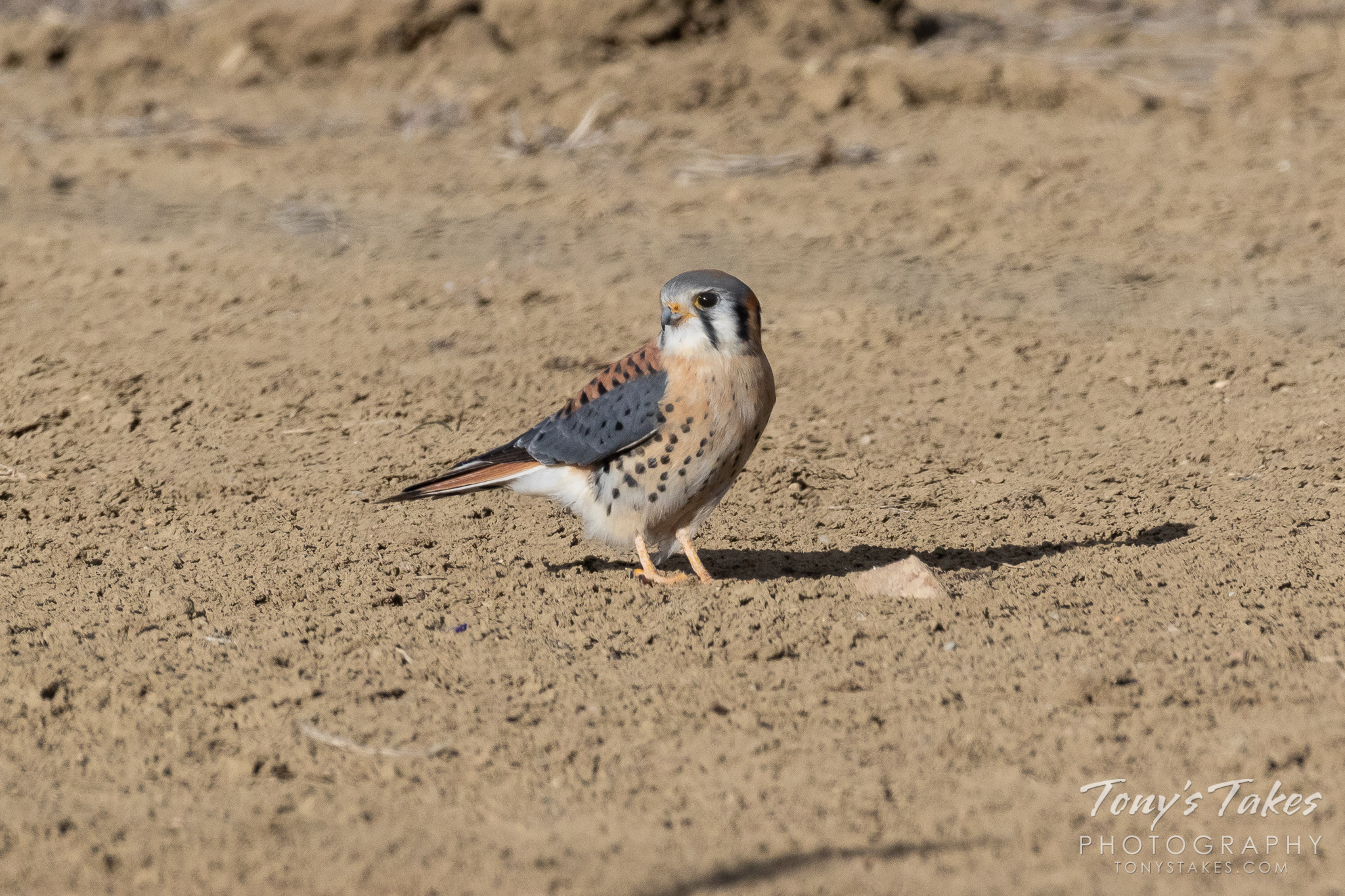 A male American kestrel hangs out on the ground in northern Colorado. (© Tony's Takes)