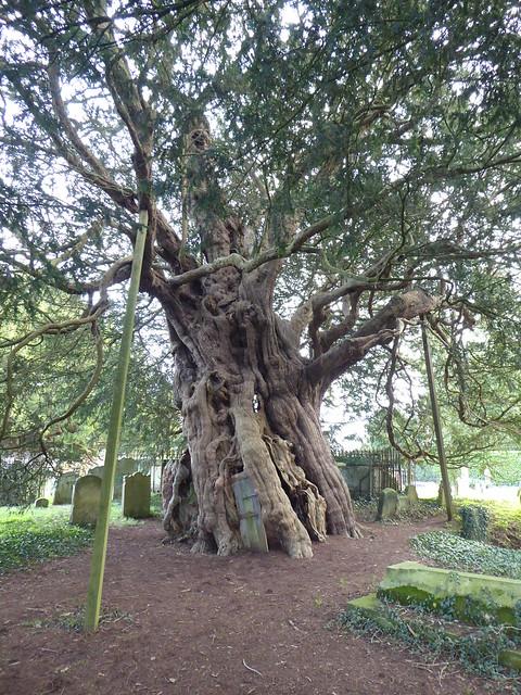 The Crowhurst Yew, Surrey