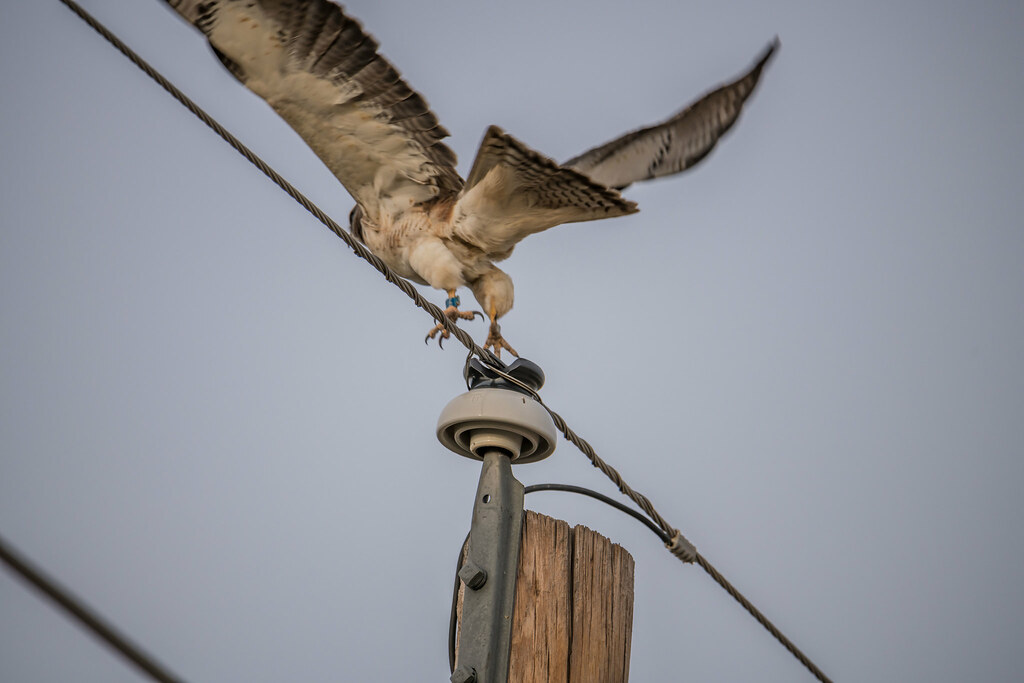 Peregrin Falcon for flicker-3
