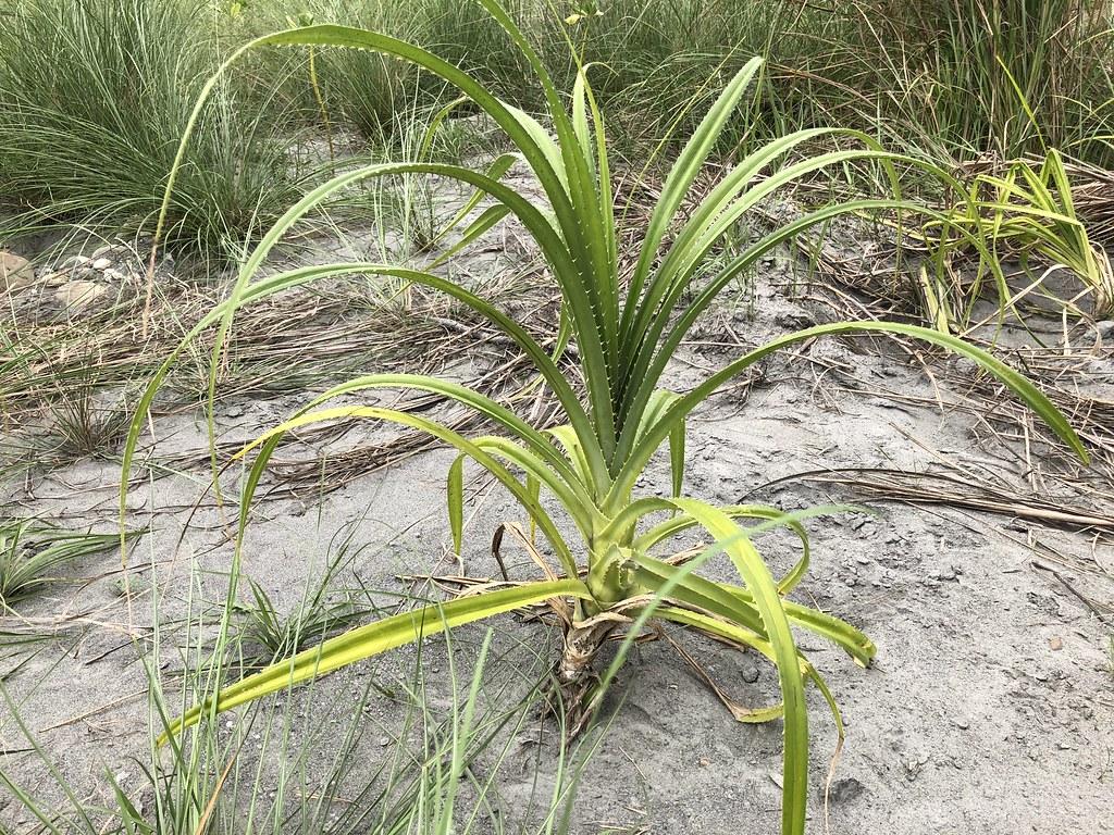 林投是東部原始海岸林常見的樹種,台東林管處近幾年積極培育小苗。攝影:廖靜蕙