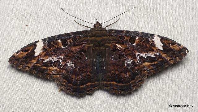 Marbled Witch, Letis caligula, Noctuidae