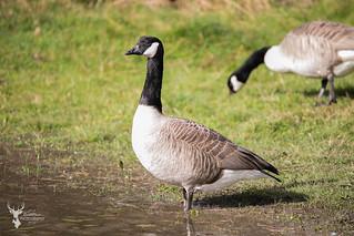 Canada Geese   by DarkleMoner