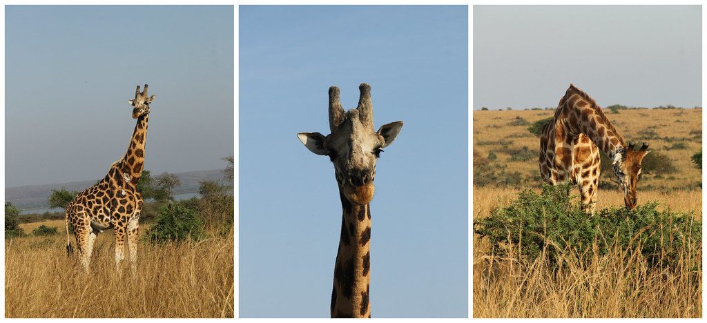 Giraffes, Murchison National Park, Uganda
