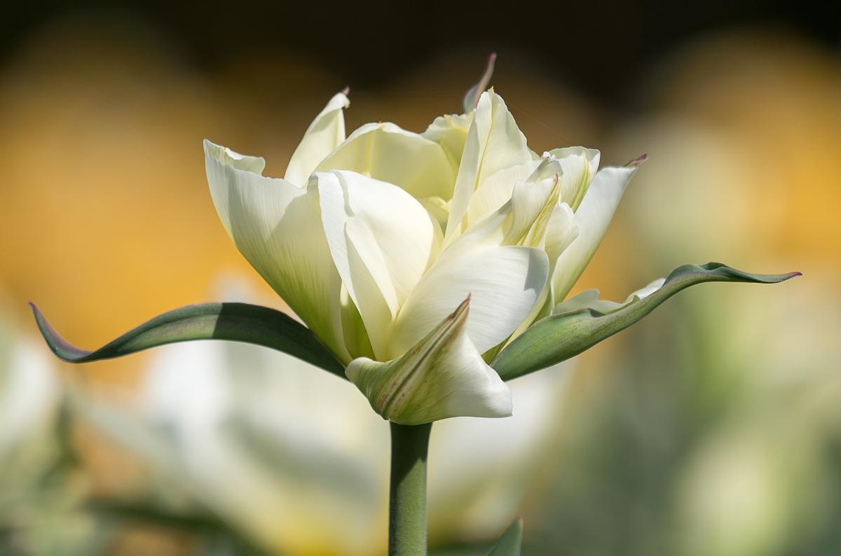 Tulipes 47471008782_be39dd3807_o
