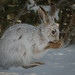 Snowshoe Hare by Darryl Robertson