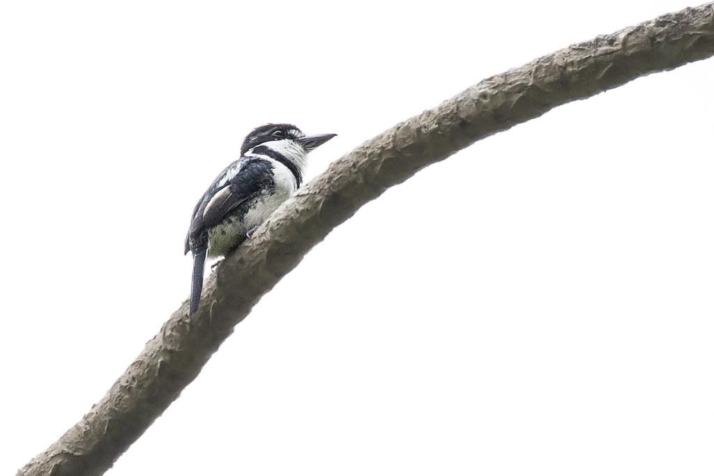 Pied Puffbird (Notharchus tectus) 1 031919