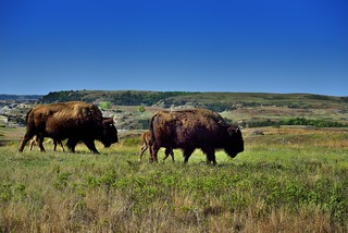 A Herd of Bison Roaming the Prairie Grasses of Theodore Roosevelt National Park | by thor_mark 