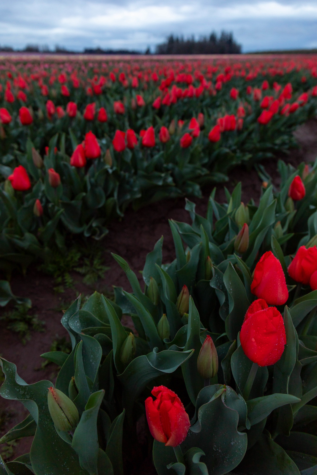 04.03. Wooden Shoe Tulip Festival, OR